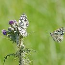 Britain's Big Butterfly Count by jesika