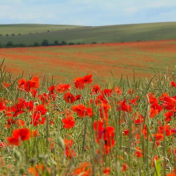 South Downs Poppies by chuckirina
