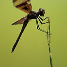 Dragonfly 2 by Gemineye