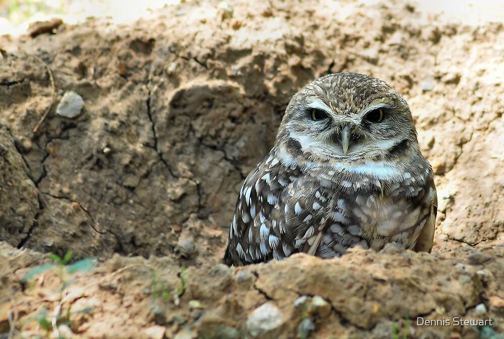 """Burrowing Owl - """"Mr. Big Eyes"""" by Dennis Stewart"""