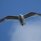 Gull In Flight by Stephen Peters