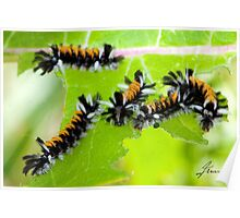 Milkweed Tiger Moth Caterpillar X5 Poster