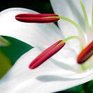 Lilies Series 3 by Bradley Old