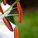 Lilies Series 7 by Bradley Old