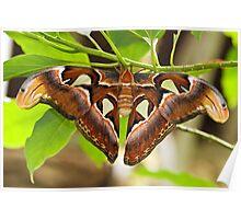 Atlas moth (Attacus atlas) Poster