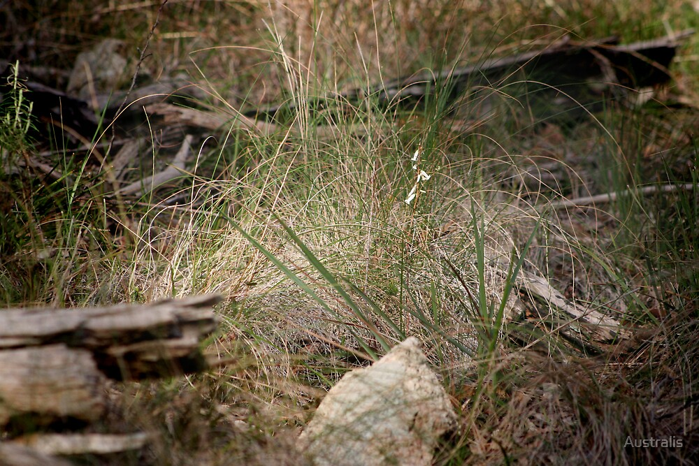 Native Grass by Australis