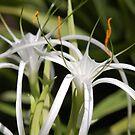 Spider Lillies by duckie