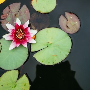 Pink Lily In Pond Overhead View by PatiDesigns
