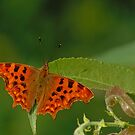 Bright orange comma butterfly by xophotography