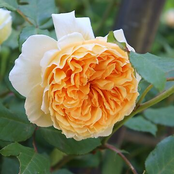 A Perfect English Rose by cuprum