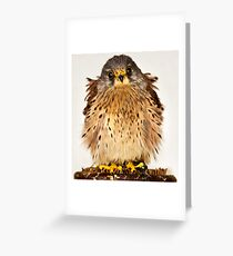 Baby Kestral Greeting Card