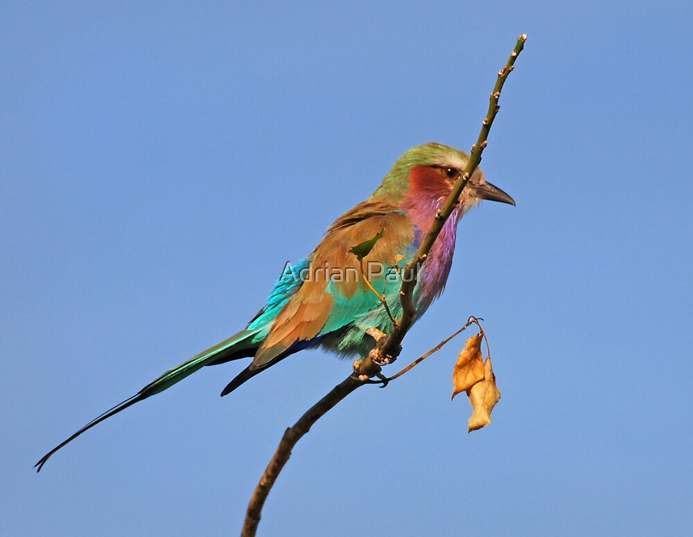 Lilac Breasted Roller, Moremi Game Reserve, Botswana by Adrian Paul