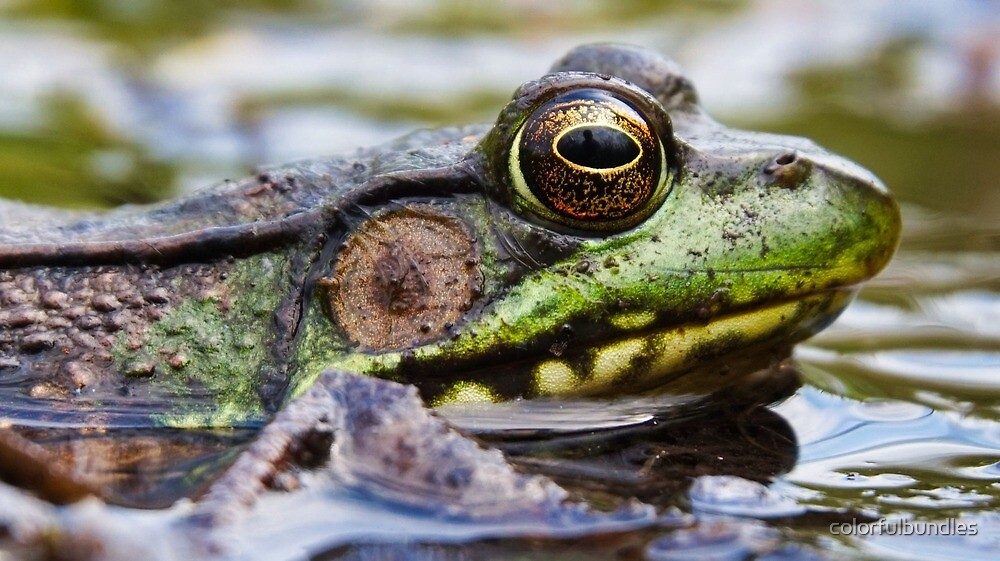 Bullfrog, up close and personal by colorfulbundles