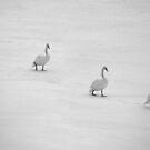 Swans in Winter by Kasia Nowak