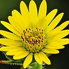 Compass Plant Close Up  by lorilee