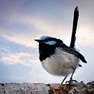 Splendid Wren by Clare Colins