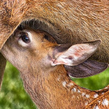 Young Fallow Fawn Suckling by SWEEPER
