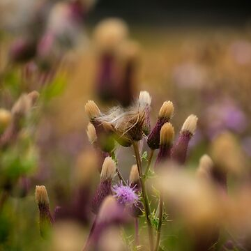 Thistle Babies by 242Digital