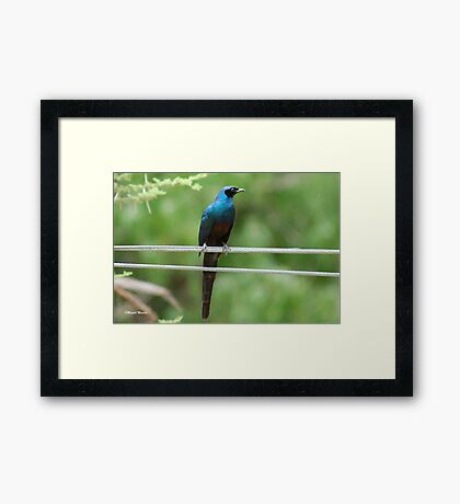 Large Glossy Starling – Lamprotornis australis Framed Print