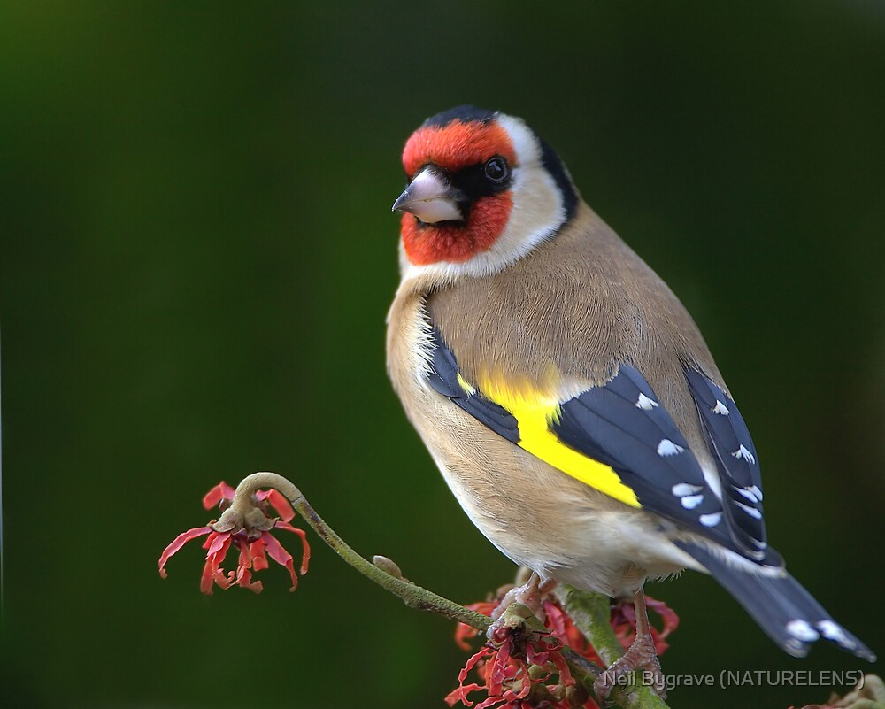 Goldfinch by Neil Bygrave (NATURELENS)