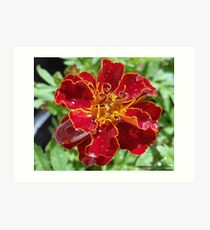 Marigold With Water Drops Art Print