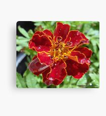 Marigold With Water Drops Canvas Print