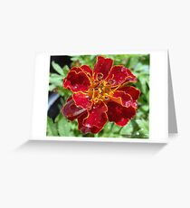 Marigold With Water Drops Greeting Card