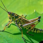 Grasshopper on a Leaf. by TJ Baccari Photography