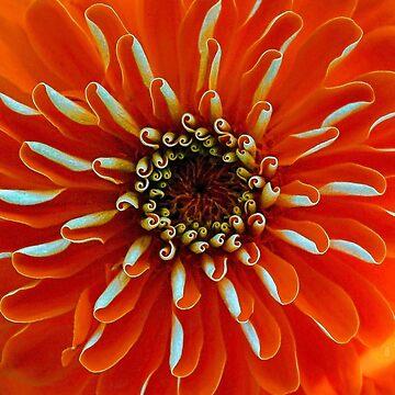 Symmetry - Orange Zinnia by rural-guy