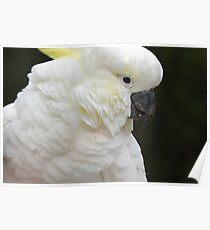 cockatoo 11 Poster