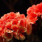 Begonia by vbk70