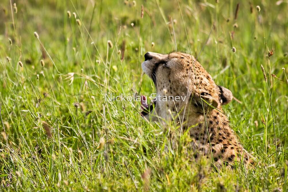 Cheetah Yawning by Nickolay Stanev