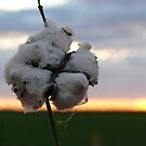 Cotton Fields back Home (1) by Fiona Kersey