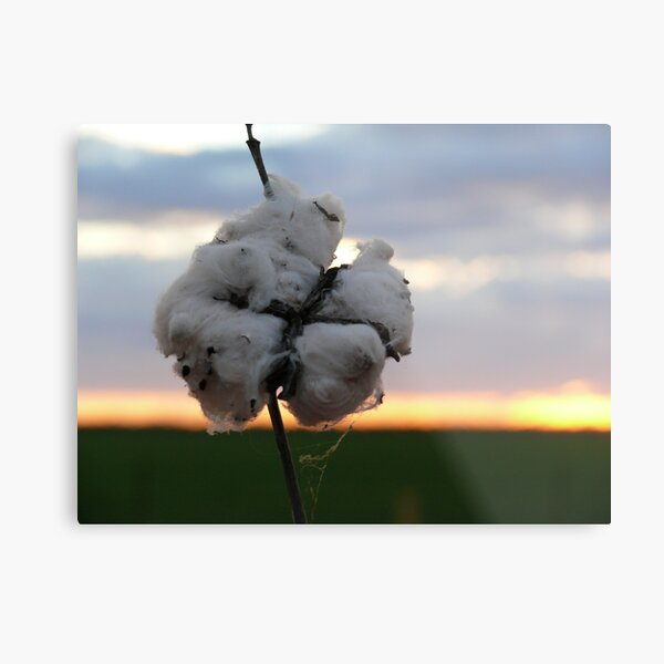 Cotton Fields back Home (1) Metal Print
