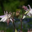 Wild Things~Wild Columbine by Martina Fagan