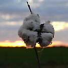 Cotton Fields back home (2) by Fiona Kersey