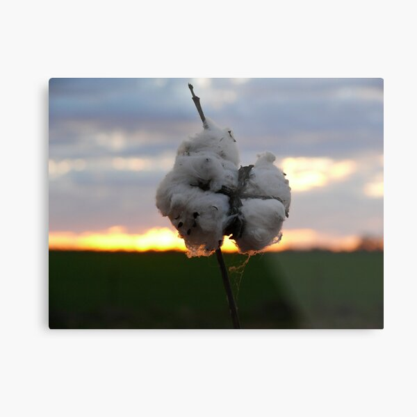 Cotton Fields back home (2) Metal Print