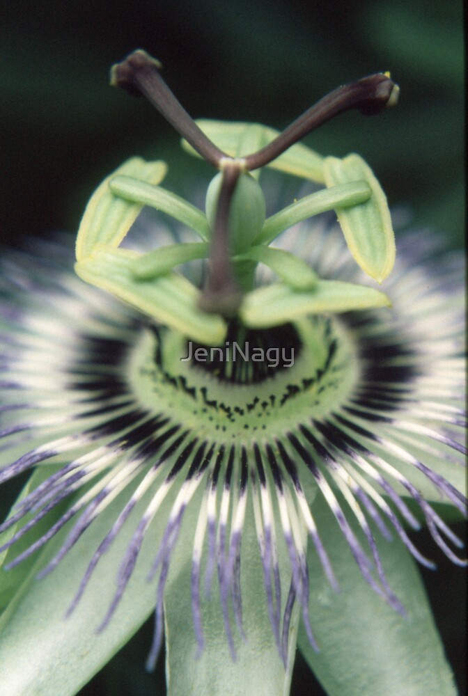 Passionflower by JeniNagy