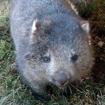 Curious Wombat, Cradle Mountain, Tasmania, Australia. by kaysharp