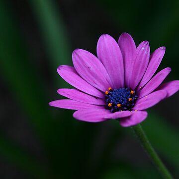 daisy by Snofpix