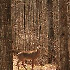 Whitetail Deer Buck by Jim Sauchyn