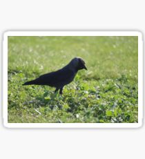 Black Crow Close Up Sticker