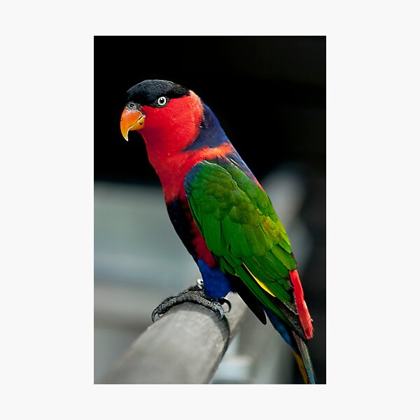 Black Capped Lory Photographic Print