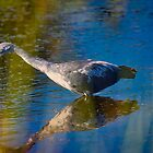 Immature Little Blue Heron by TJ Baccari Photography