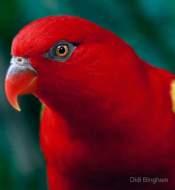 Chattering Lory by Didi Bingham