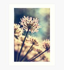 Queen Annes Lace flowers Art Print