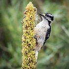 Woodpecker by Alla Gill