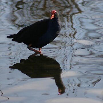 pukeko reflected by louiser
