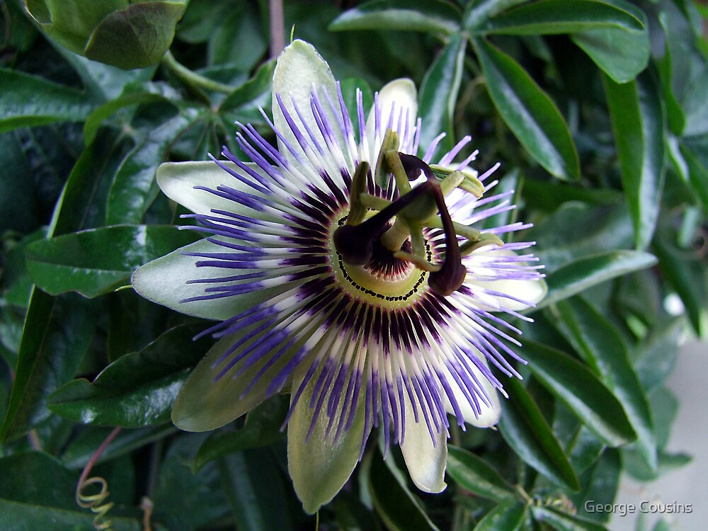 Passion Flower by George Cousins