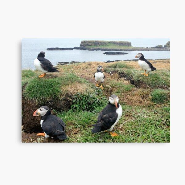 puffins of the Treshnish Isles Canvas Print